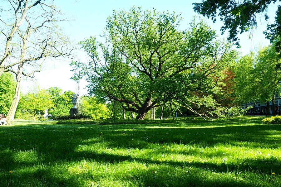 """Die """"große alte Dame der Wallanlagen"""": Die Baum-Hasel am Herdentor ist der älteste Baum der Wallanlagen. Sie wurde 1802 gepflanzt und ist damit einer der ältesten Bäume Bremens."""