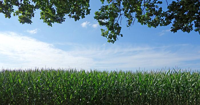 Mais, Himmel, Bäume